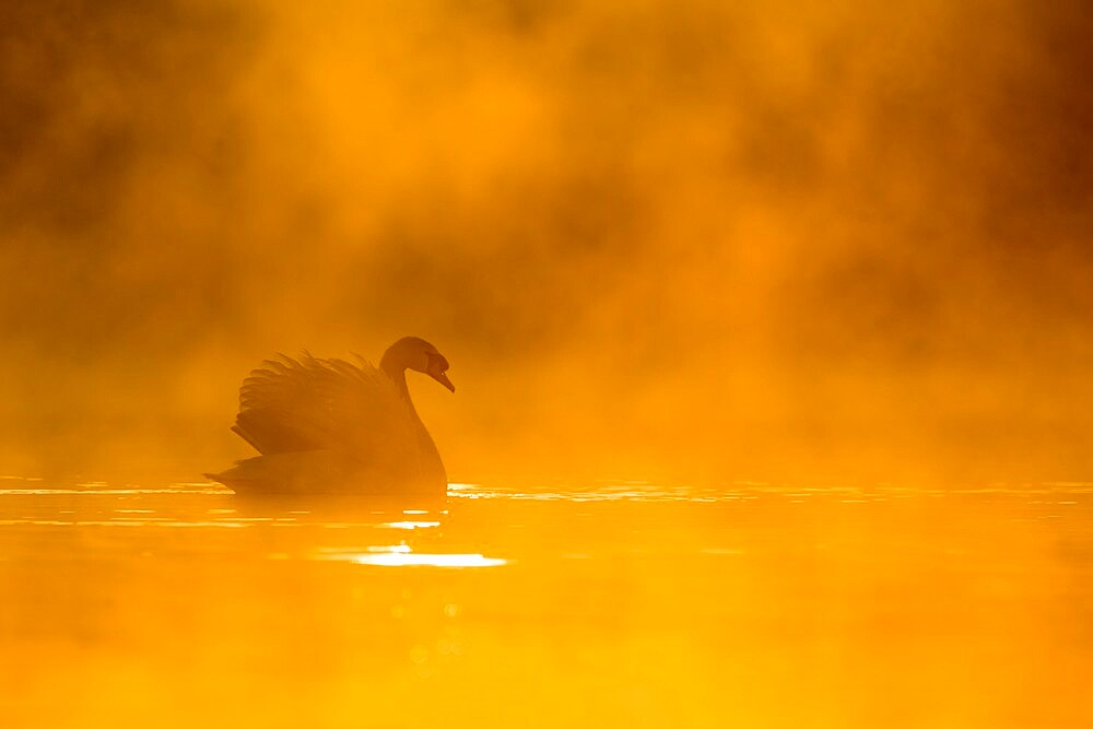 Mute swan (Cygnus olor) at sunrise, Kent, England. - 1200-405