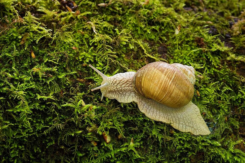 Roman snail (Helix pomatia), Kent, England - 1200-409