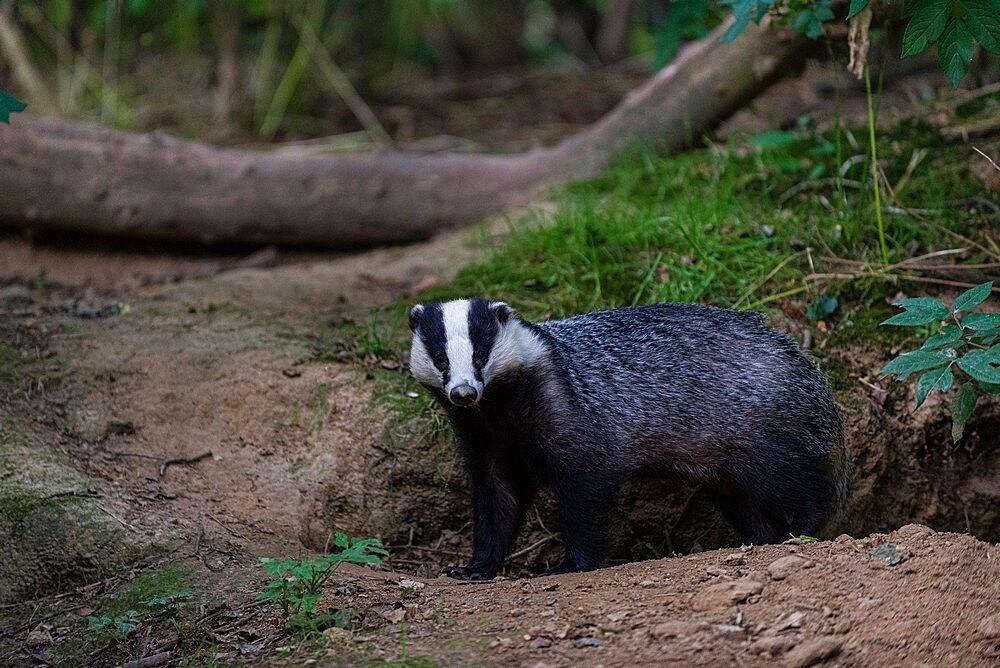 Eurasian Badger (Meles meles) adult, standing beside sett entrance, coppice woodland habitat, Kent, England, July - 1200-419