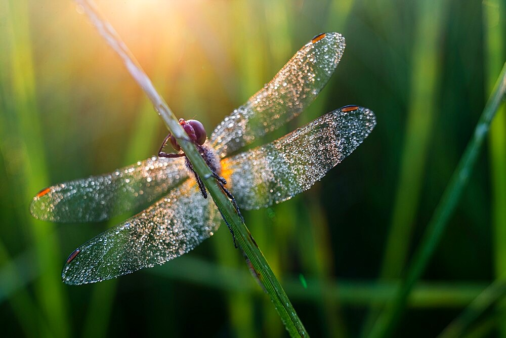 Common Darter (Sympetrum striolatum) adult, covered in dew, at dawn, Elmley Marshes NNR; sle of Sheppey, Kent, England - 1200-428