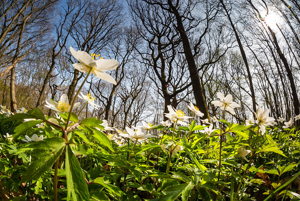 Wood anemone (Anemone nemorosa) flowering in coppice woodland habitat, Kent, England, United Kingdom, Europe - 1200-62