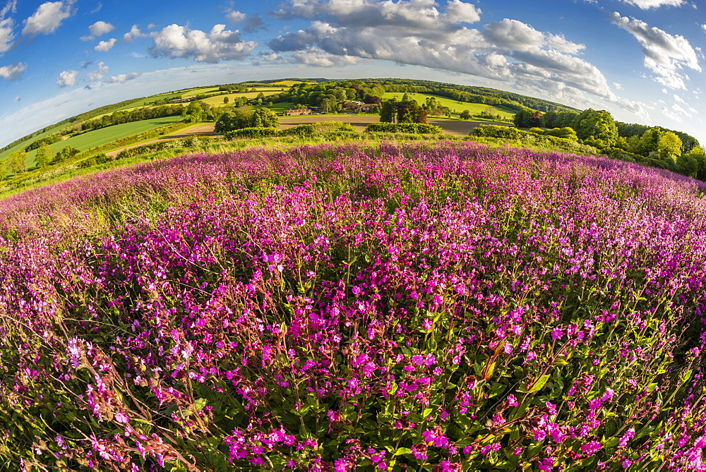 Red campion (Silene dioica), flowering mass, growing on arable farmland, evening sunlight, Kent, England, United Kingdom, Europe