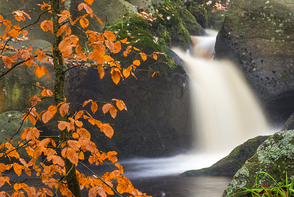 Common beech (Fagus sylvatica) tree and waterfall, Padley Gorge, Peak District, Derbyshire, England, United Kingdom, Europe - 1200-71