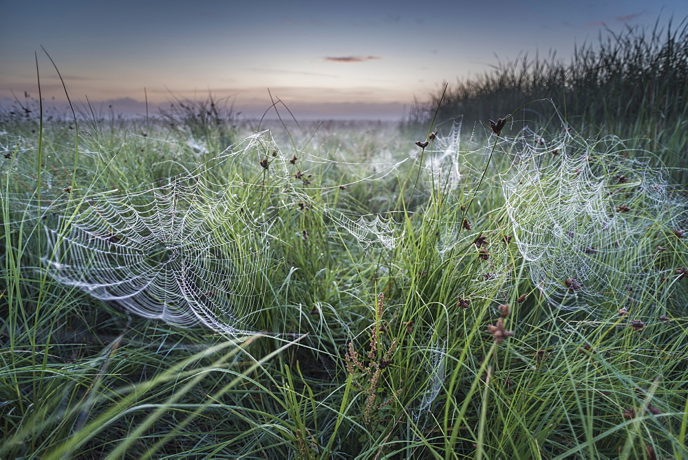 Dew covered orb web in mist at dawn, Elmley Marshes National Nature Reserve, Isle of Sheppey, Kent, England, United Kingdom, Europe - 1200-78