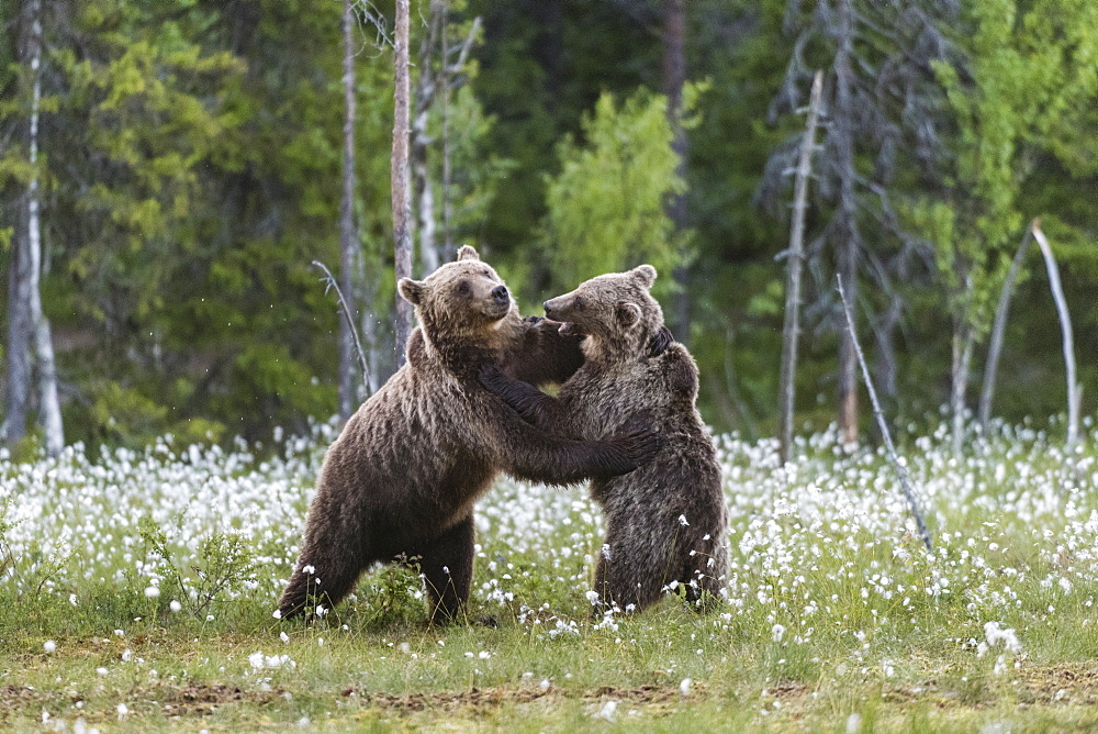 European Brown Bear (Ursus arctos arctos) sub-adults, play fighting on swamp, Suomussalmi, Finland, Europe - 1200-79