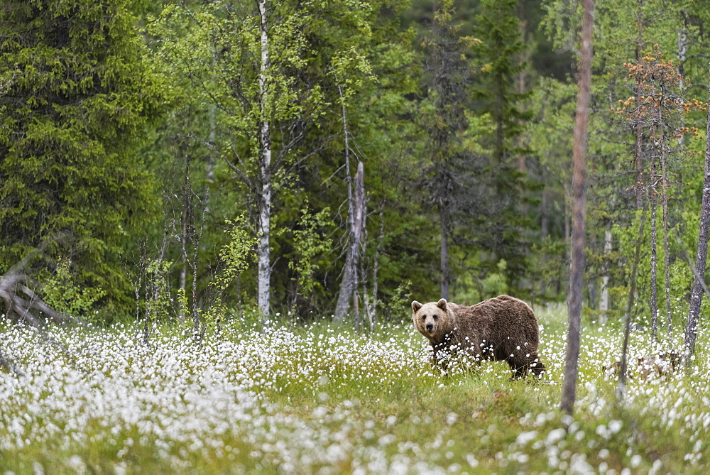 European Brown Bear (Ursus arctos arctos) adult, standing on cotton grass filled taiga swamp, Suomussalmi, Finland, Europe