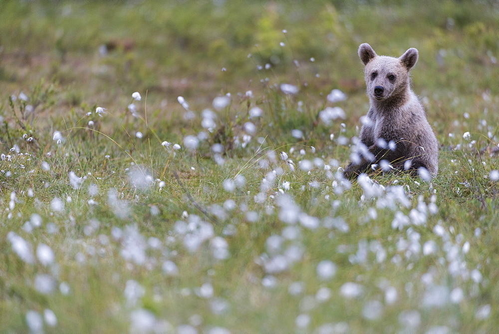 European Brown Bear (Ursus arctos arctos) cub, sitting on cotton grass filled taiga swamp, Suomussalmi, Finland