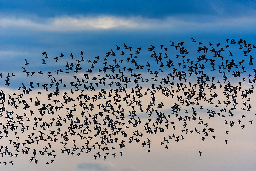 Knot (Calidris canutus) flock, in flight, at sunset, Isle of Sheppey, Kent, England, March