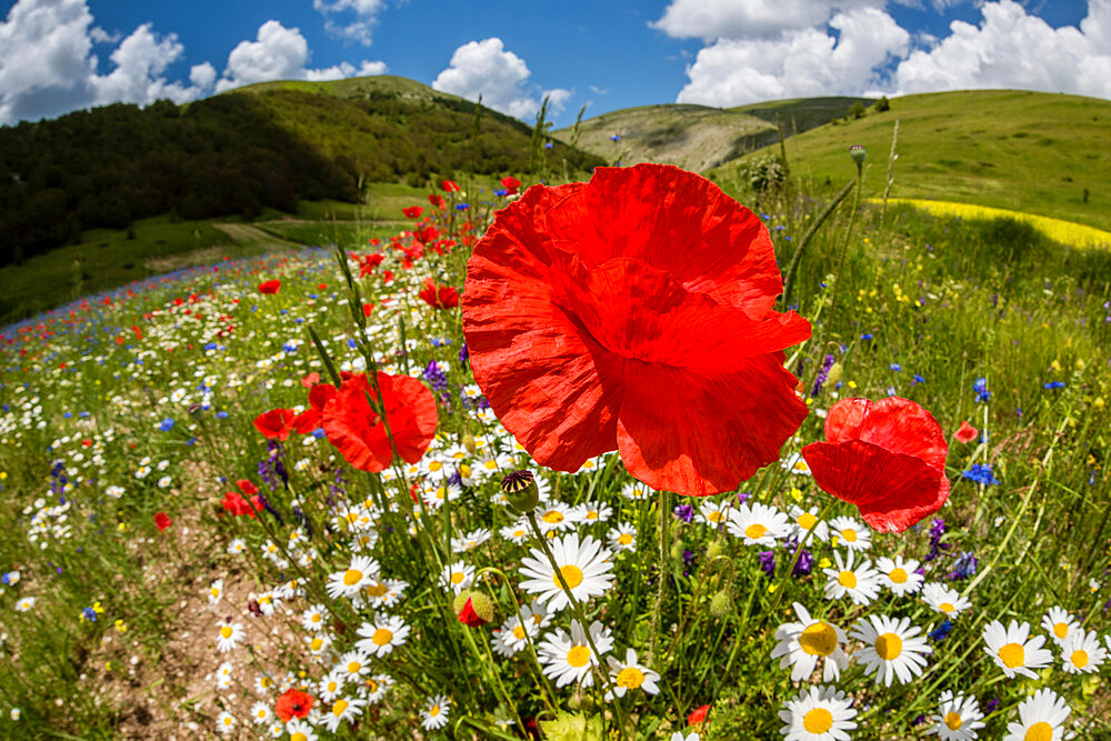 Wildflower meadow of poppies and ox-eye daisy, Monte Sibillini Mountains, Piano Grande, Umbria, Italy, Europe - 1200-89