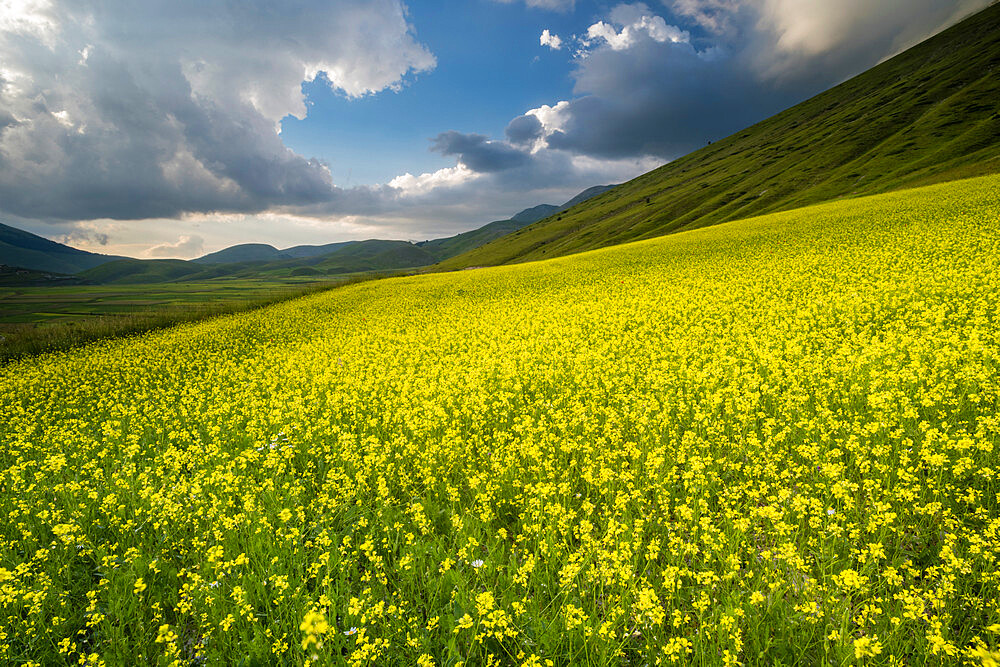 Flowering lentils and the Monte Sibillini Mountains, Umbria, Italy, Europe - 1200-99