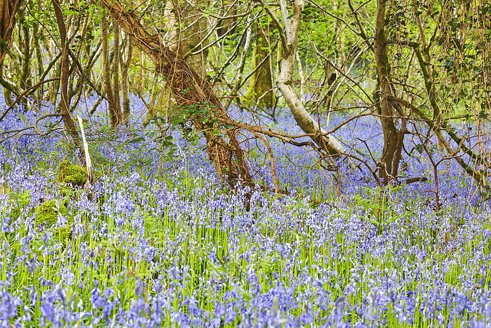 Bluebells in flower in Lady's Wood, near South Brent, Devon, England, United Kingdom, Europe