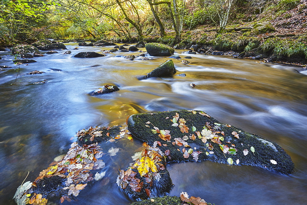 An autumn view, with autumn colours, of ancient woodland lining the River Teign, near Fingle Bridge, Dartmoor National Park
