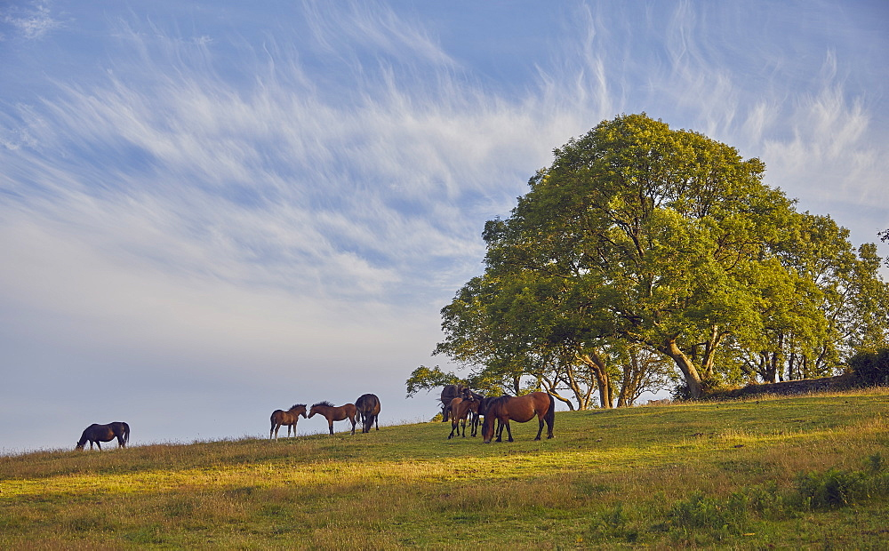Ponies on farmland with an ash tree in the background, on the edge of the East Okement valley, Dartmoor National Park, Devon, England, United Kingdom, Europe