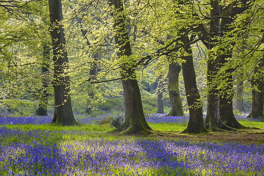 Bluebells in flower beneath a canopy of beech trees in new leaf, in early morning sun, Blackbury Camp, near Beer, east Devon, England, United Kingdom, Europe