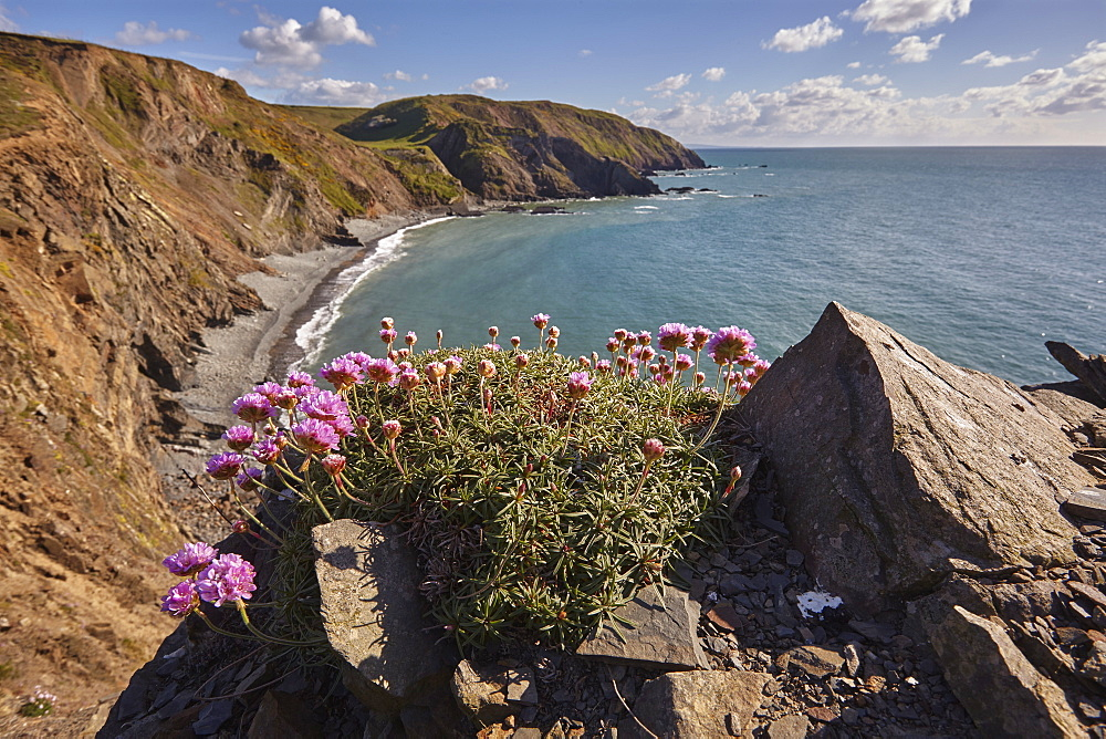 Cliffs along Devon's Atlantic coast, with a cluster of Sea Pink (Thrift) (Armeria maritima) in flower, Hartland Quay, Devon, England, United Kingdom, Europe