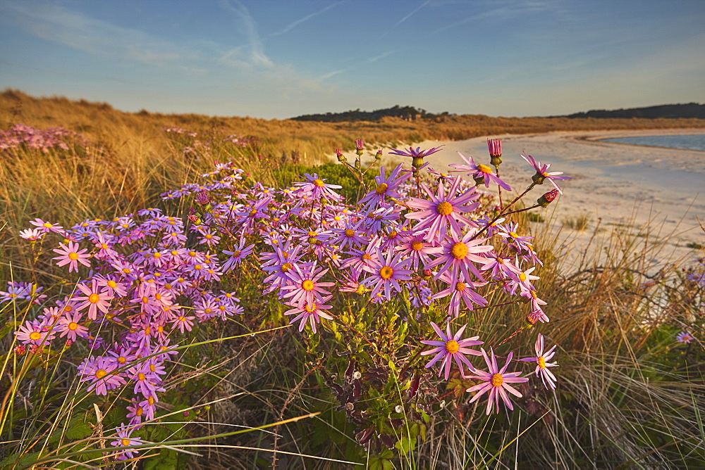 Sea Asters (Tripolium pannonicum) in flower in spring in dunes in Pentle Bay, on the island of Tresco, in the Isles of Scilly, England, United Kingdom, Europe