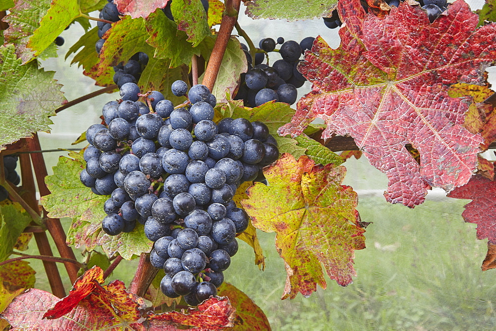 Dornfelder grapes ready for the autumn harvest, at Trevibban Mill Vineyard, near Padstow, Cornwall, Great Britain.