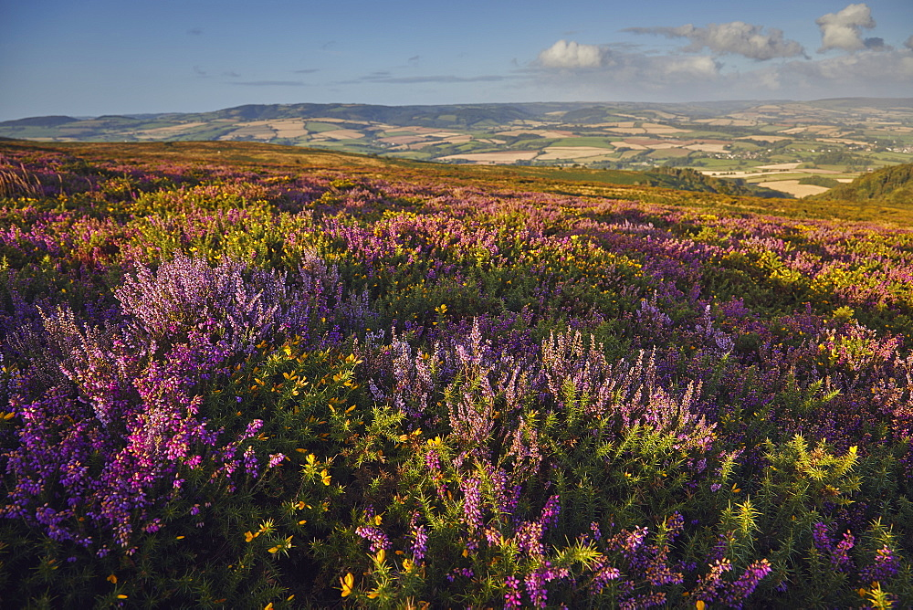 Heather in flower on moorland on Beacon Hill, in the Quantock Hills Area of Outstanding Natural Beauty, Somerset, Great Britain.