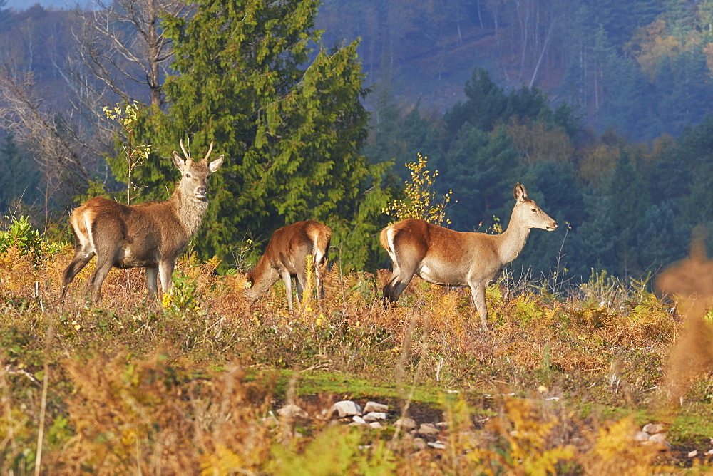 A group of Red Deer (Cervus elaphus) in countryside near Dunster, in Exmoor National Park, Somerset, Great Britain.