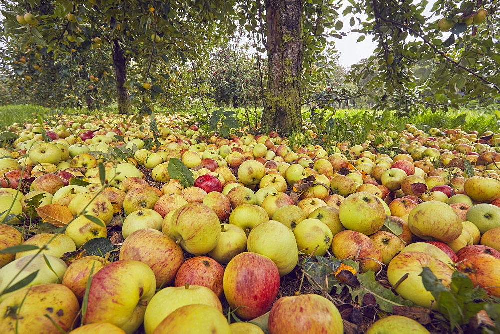 Fallen cider apples ready for harvest in September, Somerset, Great Britain.