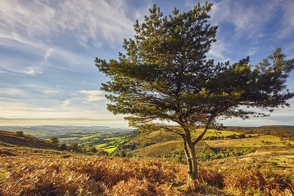 A lone pine tree on a hill called Wills Neck (384m), highest point in the Quantock Hills, in Somerset, Great Britain.