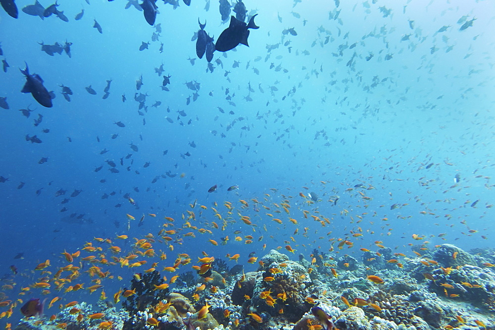 Madivaru reef, Rasdhoo atoll, Maldives, Indian Ocean, Asia