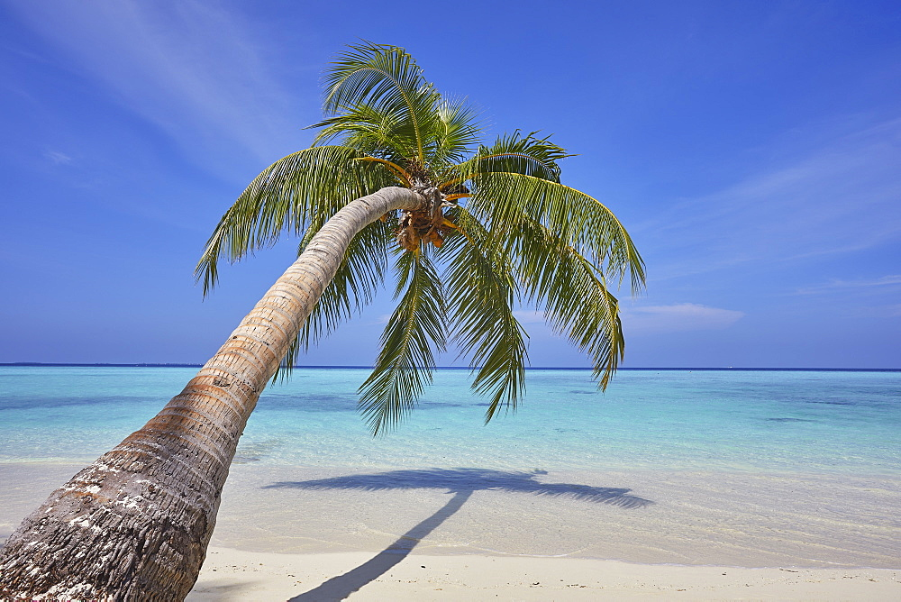 A tropical island beachside coconut palm, Gaafu Dhaalu atoll, in the far south of The Maldives, Indian Ocean, Asia - 1202-456