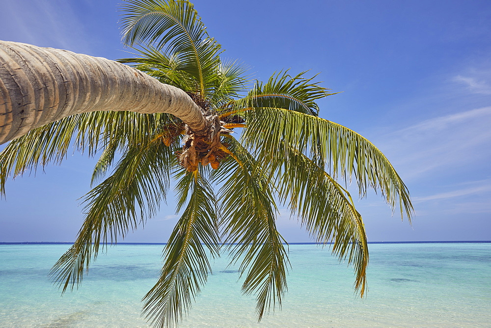 A tropical island beachside coconut palm, Gaafu Dhaalu atoll, in the far south of The Maldives, Indian Ocean, Asia - 1202-457