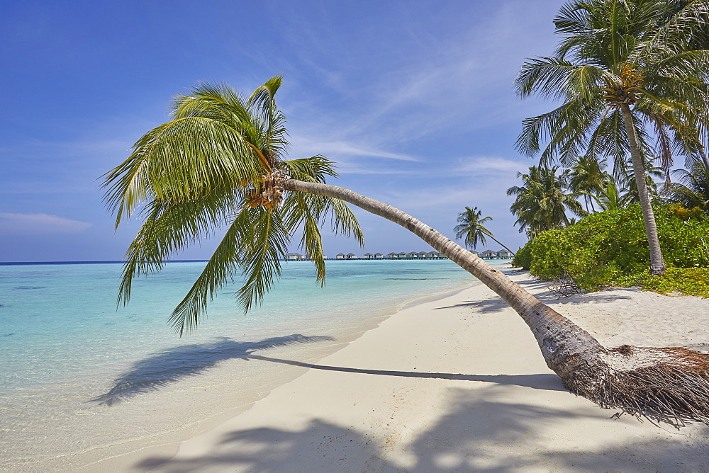 A tropical island beachside coconut palm, Gaafu Dhaalu atoll, in the far south of The Maldives, Indian Ocean, Asia - 1202-458
