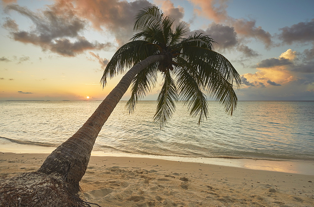 A shoreline coconut palm at sunset, on Havodda island, Gaafu Dhaalu atoll, in the far south of The Maldives, Indian Ocean, Asia - 1202-461
