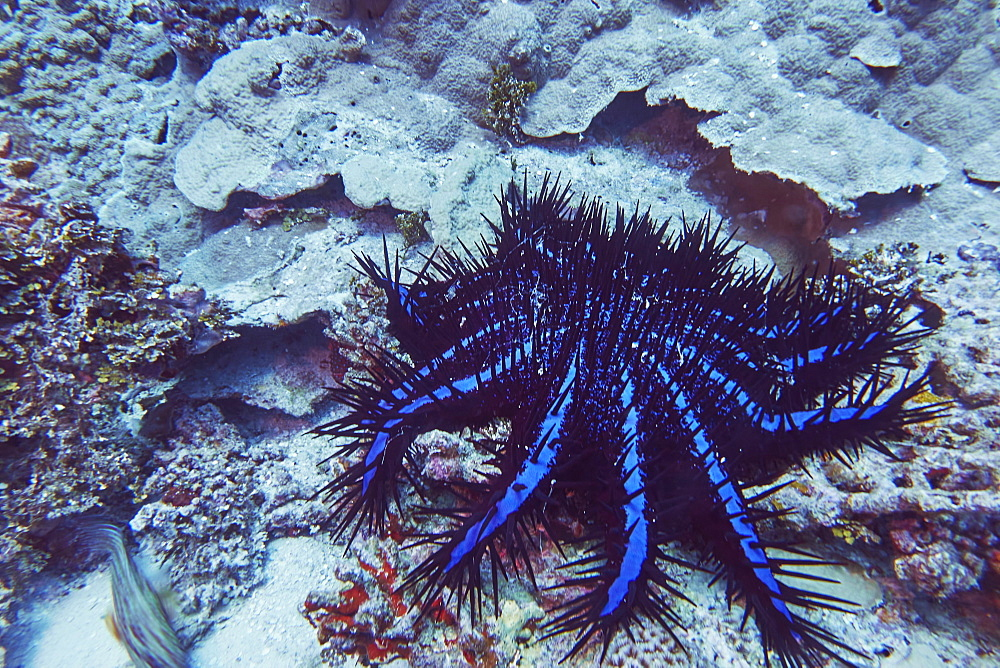 A Crown of Thorns starfish (Acanthaster planci), on a tropical coral reef, in Gaafu Dhaalu atoll, The Maldives, Indian Ocean, Asia - 1202-469