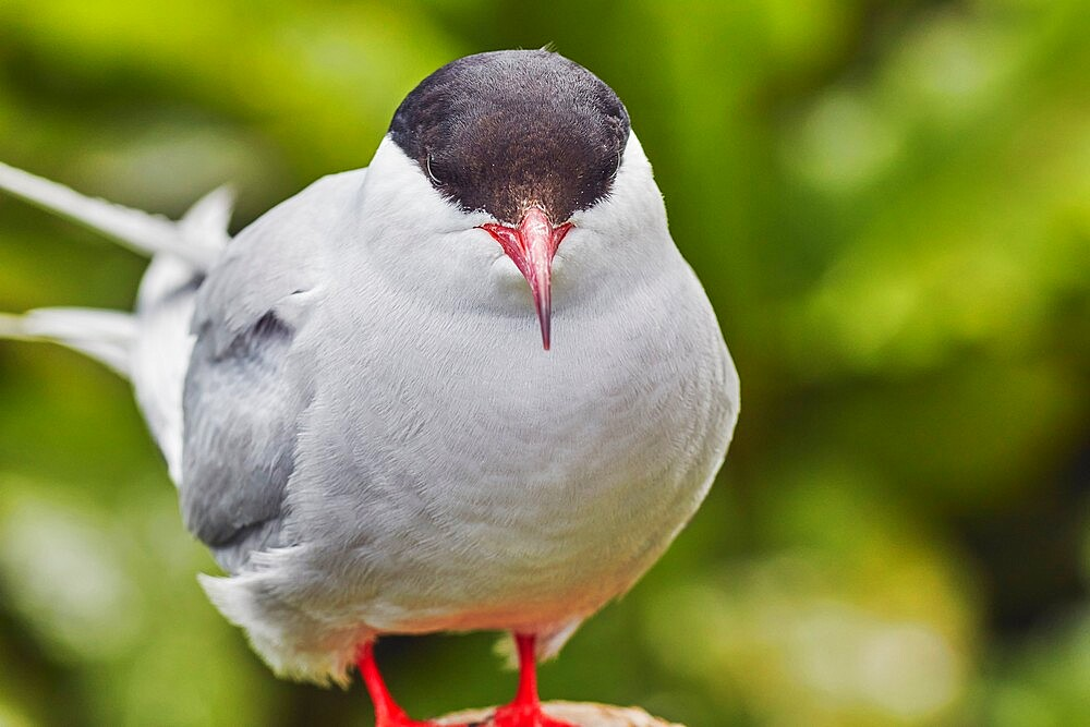A portrait of an Arctic tern (Sterna paradisaea), on Inner Farne, Farne Islands, Northumberland, England, United Kingdom, Europe - 1202-471