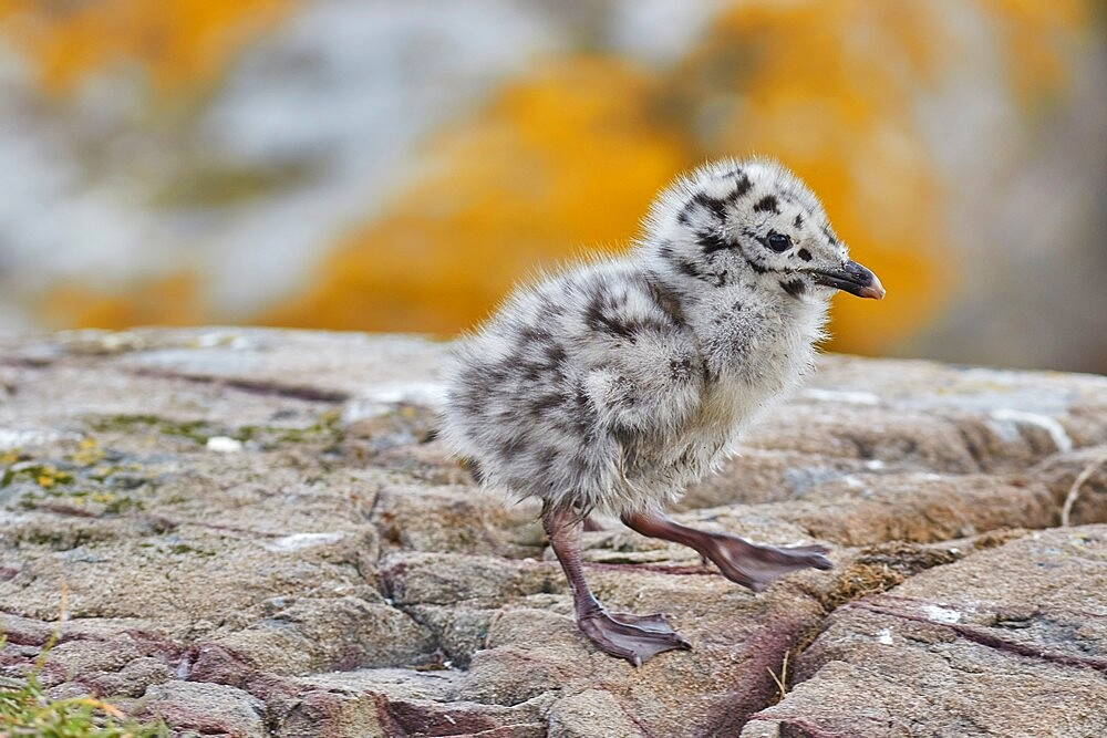 A chick of a Great Black-backed Gull (Larus marinus), on Staple Island, Farne Islands, Northumberland, England, United Kingdom, Europe - 1202-476