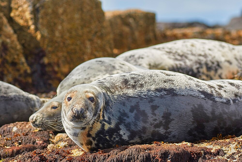 Basking Grey Seals (Halichoerus grypus), on Longstone Island, Farne Islands, Northumberland, northeast England, United Kingdom, Europe - 1202-477