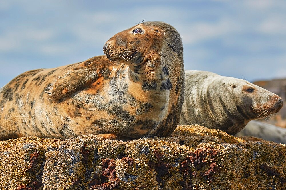 Basking Grey Seals (Halichoerus grypus), on Longstone Island, Farne Islands, Northumberland, northeast England, United Kingdom, Europe - 1202-478