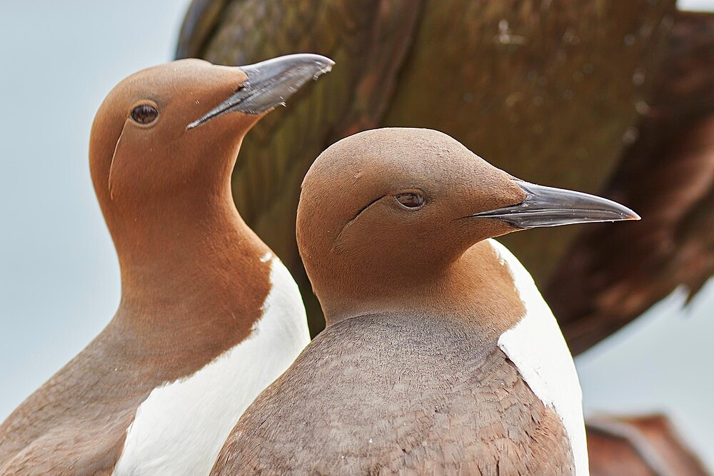 A Guillemot pair (Uria aalge), on Inner Farne, Farne Islands, Northumberland, England, United Kingdom, Europe - 1202-481