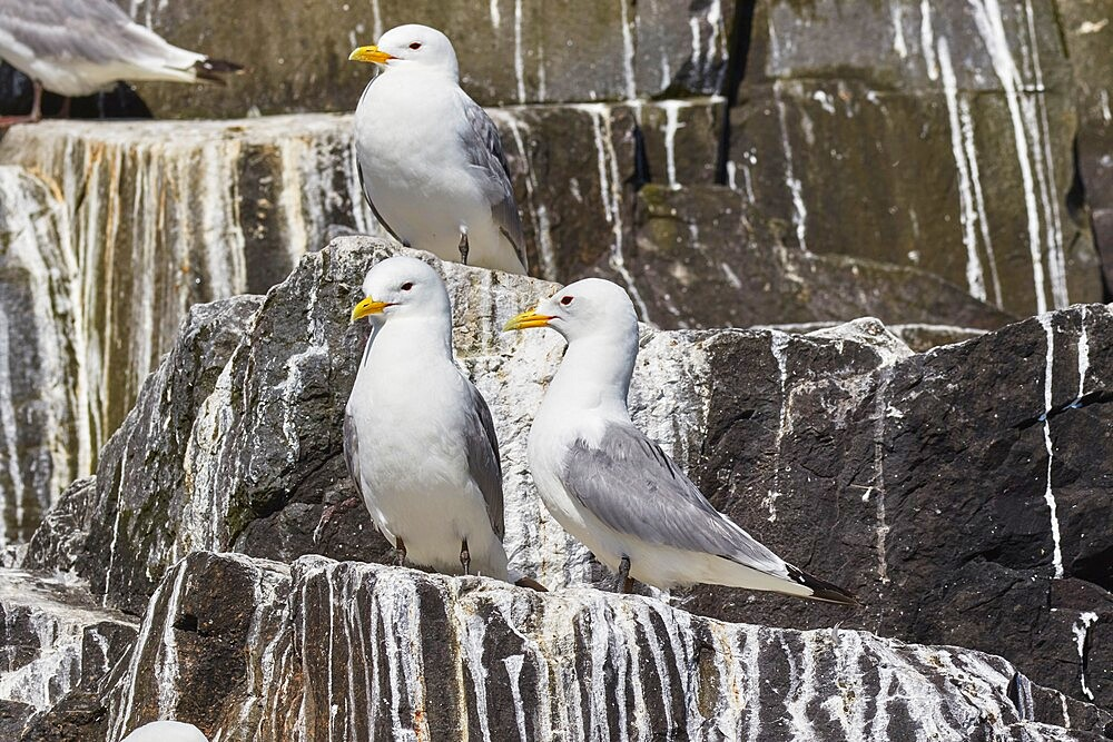 Kittiwakes (Rissa tridactyla), nesting on cliffs on Staple Island, Farne Islands, Northumberland, northeast England, United Kingdom, Europe - 1202-482