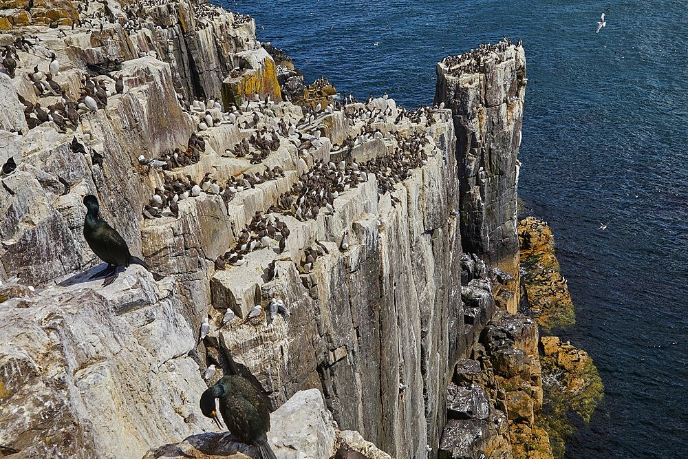 Guillemots (Uria aalge) and Razorbills (Alca torda), nesting on the cliffs of Inner Farne, Farne Islands, Northumberland, England, United Kingdom, Europe - 1202-483