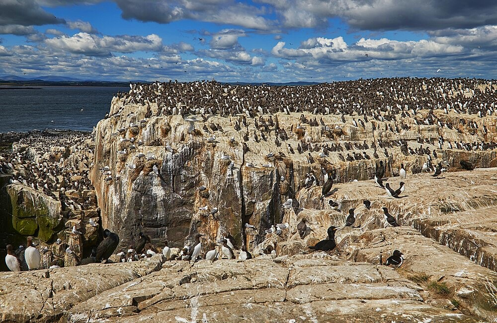 Crowds of Guillemots (Uria aalge), on Staple Island, in the Farne Islands, Northumberland, northeast England, United Kingdom, Europe - 1202-496