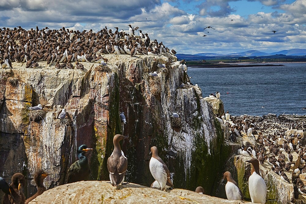 Crowds of Guillemots (Uria aalge), on Staple Island, in the Farne Islands, Northumberland, northeast England, United Kingdom, Europe - 1202-497