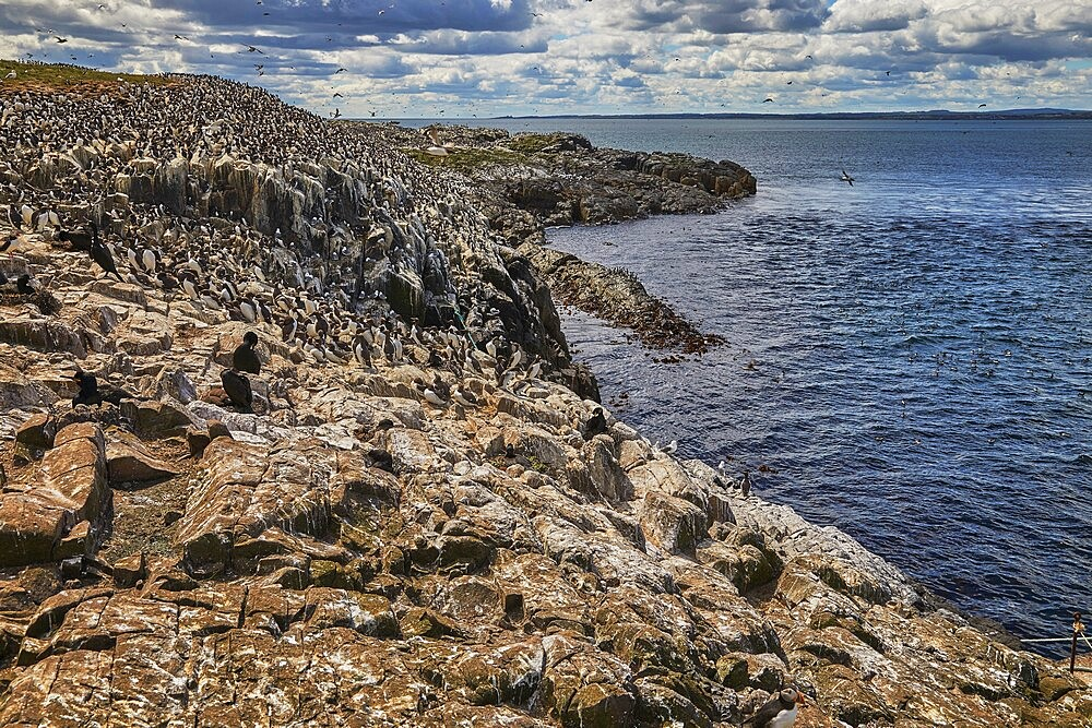 Crowds of Guillemots (Uria aalge), on Staple Island, in the Farne Islands, Northumberland, northeast England, United Kingdom, Europe - 1202-498