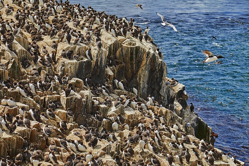Crowds of Guillemots (Uria aalge), on Staple Island, in the Farne Islands, Northumberland, northeast England, United Kingdom, Europe - 1202-500