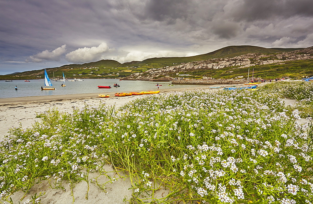Sea rocket growing on the Strand at Derrynane House, Ring of Kerry, County Kerry, Munster, Republic of Ireland, Europe