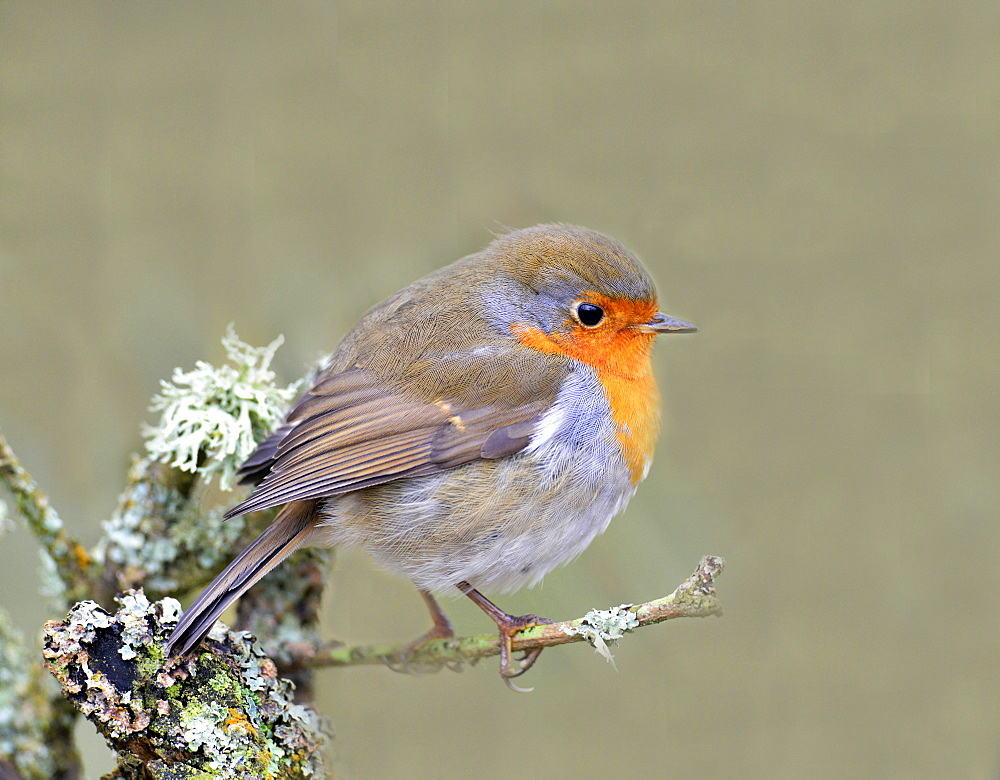 Robin (Erithacus rubecula), Lake District, Cumbria, England, United Kingdom, Europe - 1204-3
