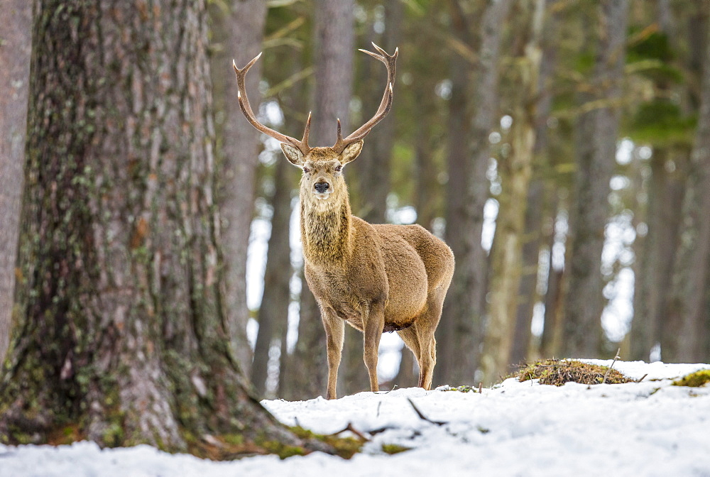 Red deer stag (Cervus elaphus), Scottish Highlands, Scotland, United Kingdom, Europe - 1204-7