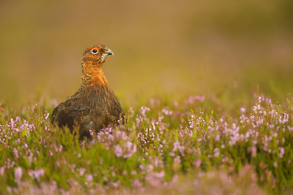 Red grouse (Lagopus lagopus), Yorkshire Dales, England, United Kingdom, Europe - 1205-10