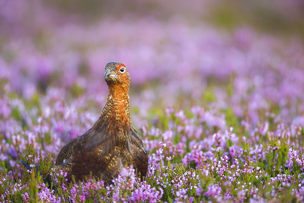 Red grouse (Lagopus lagopus), Yorkshire Dales, England, United Kingdom, Europe - 1205-11