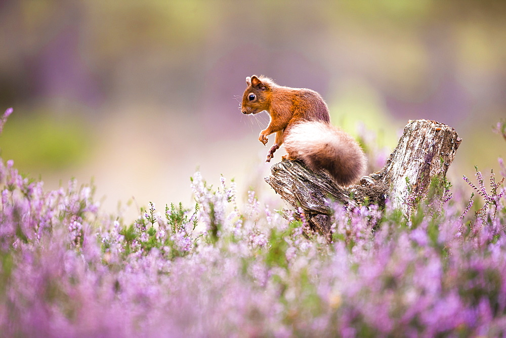 Beautiful picture of UK red squirrel