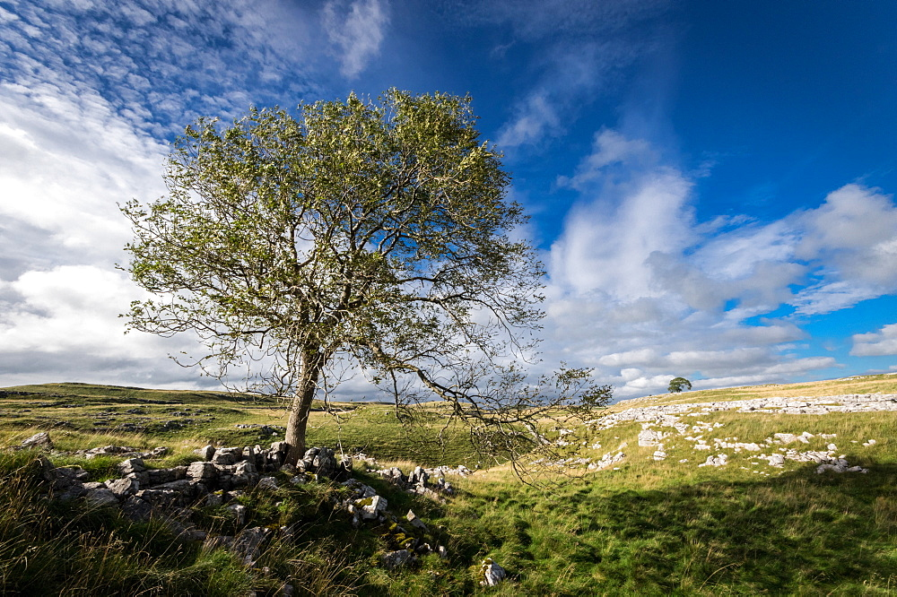 Above Malham, Yorkshire Dales, Yorkshire. Limestone Pavement. Tree.