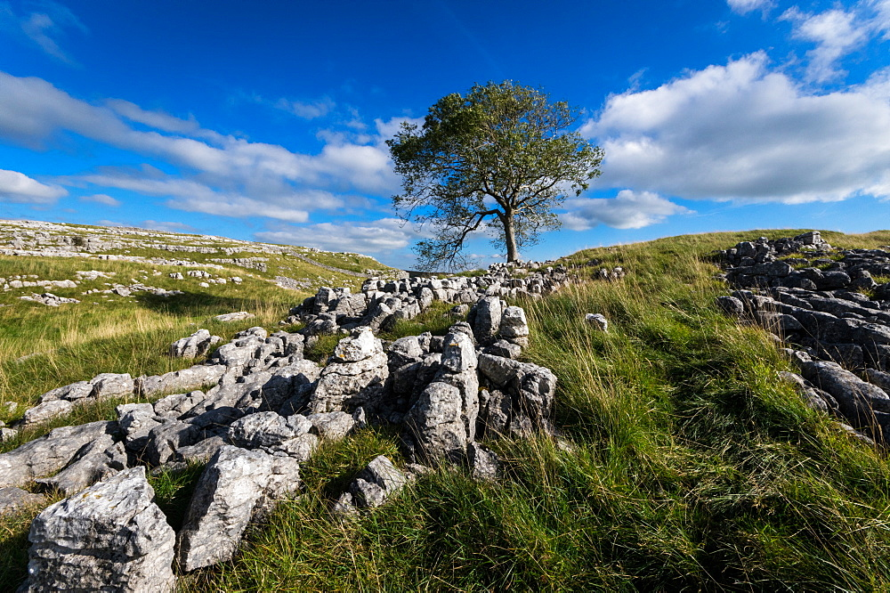 Above Malham, Yorkshire Dales, Yorkshire. Limestone Pavement. Tree. - 1209-273